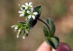 Cerastium fontanum* (Mouse-ear Chickweed)