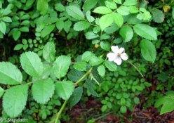 Rosa multiflora* (Multiflora Rose)