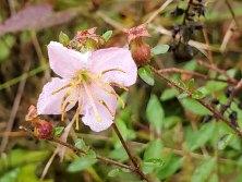 Pale Meadow Beauty (Rhexia mariana) Bloom & Fruit