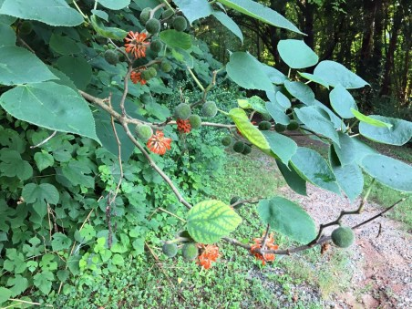 Broussonetia papyrifera* (Paper Mulberry)