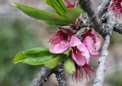 Prunus persica* (Peach)