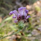 Symphyotrichum georgianum (Georgia Aster)