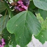 Pueraria montana v. lobata* (Kudzu) Leaf