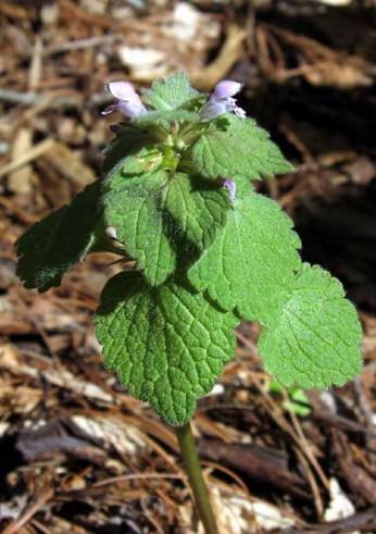 Lamium purpureum* (Purple Dead Nettle)