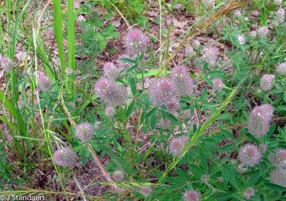 Trifolium arvense* (Rabbit-foot Clover)