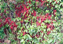 Elaeagnus umbellata* (Autumn Olive)