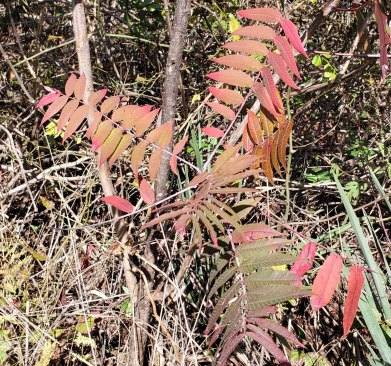 Rhus glabra (Smooth Sumac)