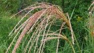 Sorghum halepense* (Johnsongrass) in Seed