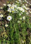 Anthemis cotula* (Stinking Chamomile)