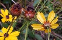 Swamp Coreopsis, Swamp Tickseed (Coreopsis gladiata) Involucral Bracts