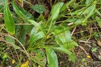 Swamp Coreopsis, Swamp Tickseed (Coreopsis gladiata) Stem & Leaves