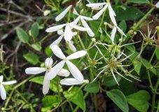 Clematis terniflora* (Sweet Autumn Clematis)