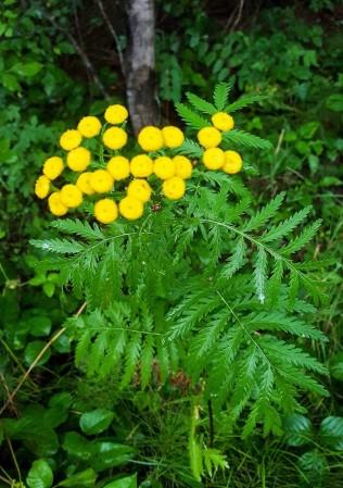 Tanacetum vulgare* (Common Tansy)