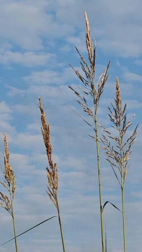 Tripidium ravennae ssp. ravennae* (Raven Grass) Bloom
