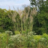 Tripidium ravennae ssp. ravennae* (Raven Grass) Plant