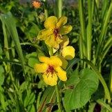 Verbascum blattaria* (Moth Mullein) Bloom