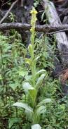 Verbascum thapsus* (Common Mullein)