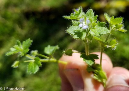 Veronica hederifolia* (Ivy-leaf Speedwell)