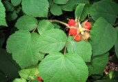 Rubus phoenicolasius* (Wine Raspberry)