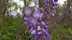 Wisteria floribunda* (Japanese Wisteria) Blooms