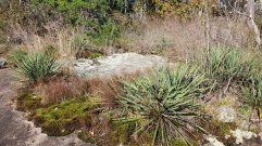 Yucca; Adam's Needle; Spanish Bayonet (Yucca filamentosa)