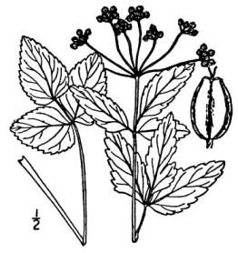Mountain Alexanders (Zizia trifoliata)