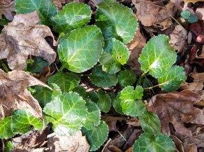 Oconee Bells; Shortia (Shortia galacifolia var. galacifolia)