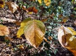Mountain Camellia (Stewartia ovata)