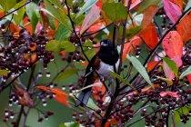 Eastern Towhee on Red Chokeberry (Aronia arbutifolia)