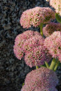 Wild Live-forever; Cliff Orpine (Hylotelephium telephioides)