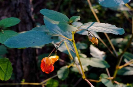 Spotted Jewel Weed (Impatiens capensis)