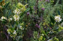Hairy Bush Clover (Lespedeza hirta)