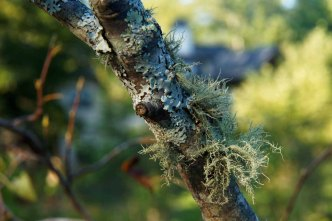 Lichens on a Serviceberry (Amelanchier sp.)