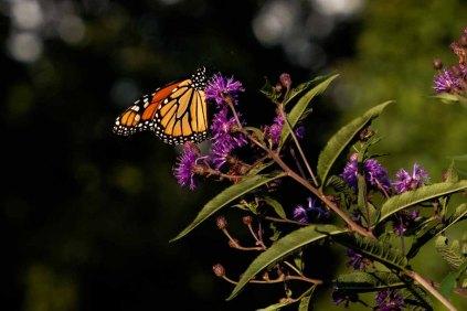 Monarch on Great Ironweed (Vernonia arkansana)