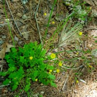 Lapsana communis* (Common Nipplewort)