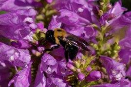 Obedient Plant; False Dragonhead (Physostegia virginiana) with bumblebee