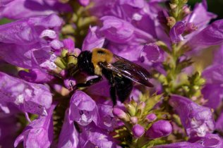 Obedient Plant; False Dragonhead (Physostegia virginiana) with bumblebee