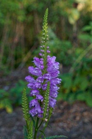 Obedient Plant; False Dragonhead (Physostegia virginiana)