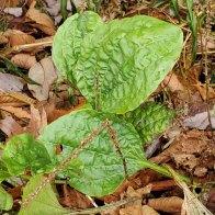 Plantago major* (Common Plantain)