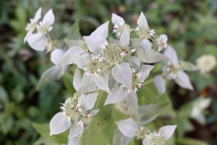 Short-toothed Mountain Mint (Pycnanthemum muticum)
