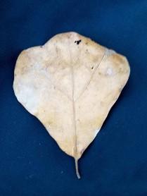 Black Jack Oak (Quercus marilandica)