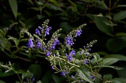Hyssop Skullcap (Scutellaria integrifolia)