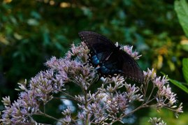 Spicebush Swallowtail on Hollow-stem Joe-Pye-Weed (Eutrochium fistulosum)