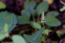 a Lady Tresses (Spiranthes sp.)