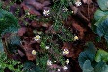 White Heath Aster (Symphyotrichum ericoides)