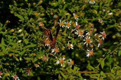 Calico Aster (Symphyotrichum lateriflorum) with wasp