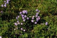 New England Aster (Symphyotrichum novae-angliae)