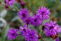 Great Ironweed (Vernonia arkansana)