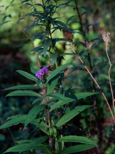 Broad-leaved Ironweed (Vernonia glauca)