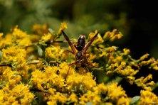 Wasp on Canada Goldenrod (Solidago canadensis)